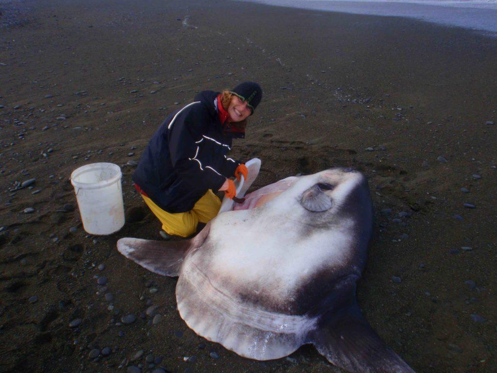 Marianne Nyegaard con un pez luna timador varado en Nueva Zelanda. Foto: cortesía de la Universidad Murdoch.