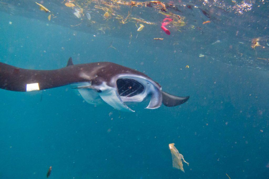 Los químicos y contaminantes asociados con el plástico pueden acumularse durante décadas en el organismo de estas especies y alterar sus procesos biológicos. Foto: Fundación Megafauna Marina