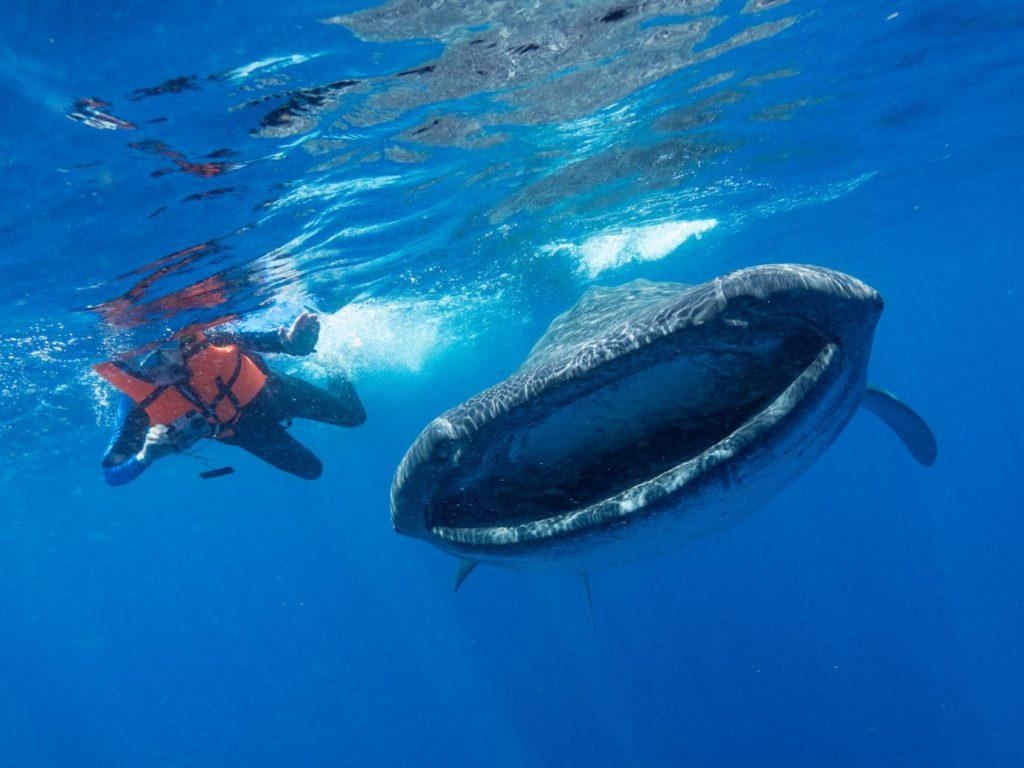 El tiburón ballena, una de las especies amenazadas por la contaminación de microplásticos. Foto: Elitza Germanov / Fundación Megafauna Marina