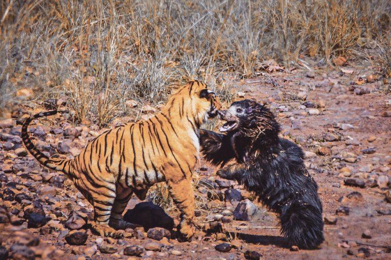 Captura de pantalla del video grabado por Akshay Kumar de la batalla entre un tigre macho y una madre osa bezuda por el acceso a un cuerpo de agua en el Parque Nacional Tadoba de Maharashtra. Vía @the_bamboo_forest en Instagram