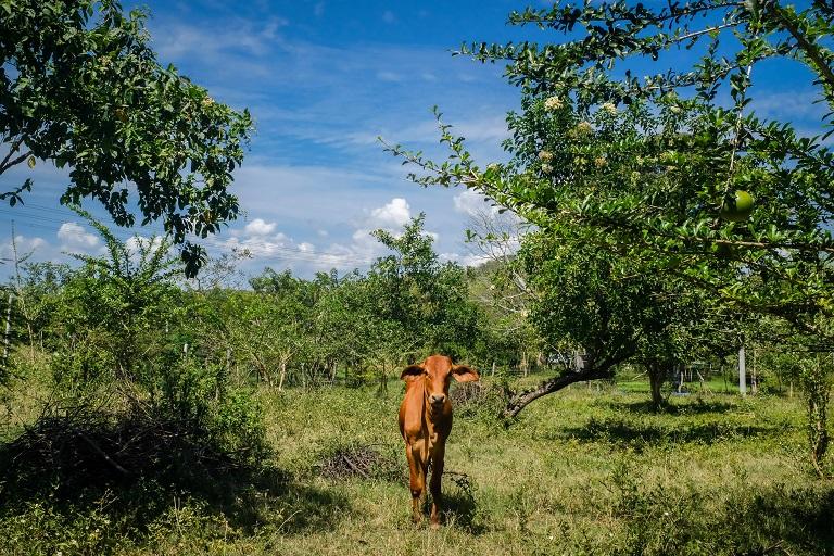 Un becerro en el terreno de Capela. Los agricultores como Capela utilizan nuevos métodos agrícolas como la rotación sostenible de cultivos. Foto de Ana Cristina Vallejo/Mongabay.