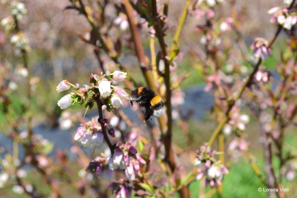 El abejorro invasor de origen europeo ha puesto en peligro especies de flora y fauna en Argentina y Chile. Foto: Lorena Vieli
