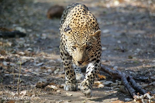 Similar al jaguar pero más pequeño, el leopardo (Panthera pardus) tiene el rango más grande de todos los grandes felinos, con poblaciones en África (fragmentadas, tanto en el norte y en el sur) y Asia (de las islas del Sudeste hasta Rusia). Su estado de conservación es Vulnerable. Foto: Rhett A. Butler / Mongabay