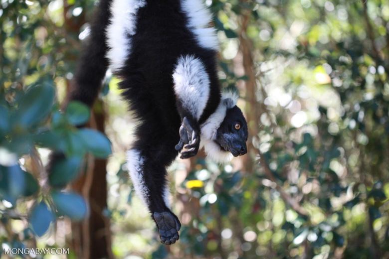 El lémur rufo blanco y negro (Varecia variegata) alcanza una longitud de hasta 60 cm y pesa aproximadamente alrededor 4,5k g. Tiene la segunda vocalización más fuerte del reino animal, detrás del mono aullador. Se encuentra En Peligro Crítico. Foto: Rhett A. Butler