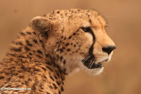 Un guepardo (Acinonyx jubatus) en Kenia. Esta especie es reconocida por ser el animal más veloz, pudiendo alcanzar hasta 112 kilómetros por hora en algunos tramos. Habita en el África subsahariana. Su estado de conservación es Vulnerable. Foto: Rhett A. Butler / Mongabay