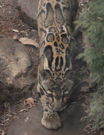 La pantera nebulosa (Neofelis nebulosa) vive en los bosques tropicales y subtropicales del este de India, sur de China, Birmania, Indochina, Sumatra y Borneo. Su estado de conservación es Vulnerable. Foto: Rhett A. Butler / Mongabay