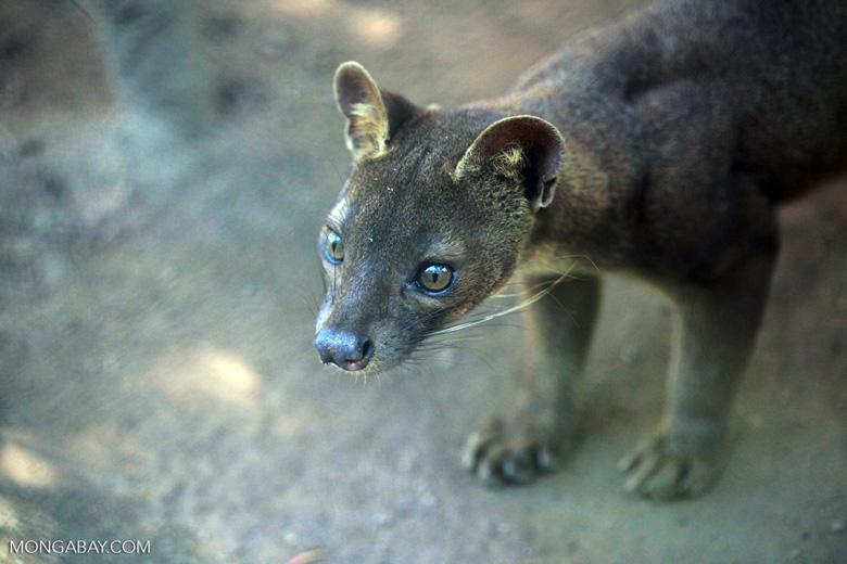 A pesar de su parecido con los felinos, el fosa (Cryptoprocta ferox) es una especie de mamífero carnívoro y el máximo depredador de Madagascar. Alcanzan los 80 centímetros de largo, más 90 cm de cola, y los 10 kilos de peso. Su estado de conservación en Vulnerable. Foto: Rhett A. Butler