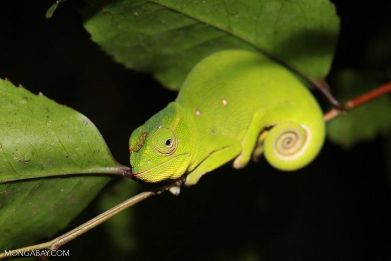 Una hembra del camaleón de Petter (Furcifer petteri), una especie que vive en una pequeña zona del norte de Madagascar. Alcanza los 16 centímetros. Debido a la pérdida de hábitat, su estado de conservación es Vulnerable. Foto: Rhett A. Butler