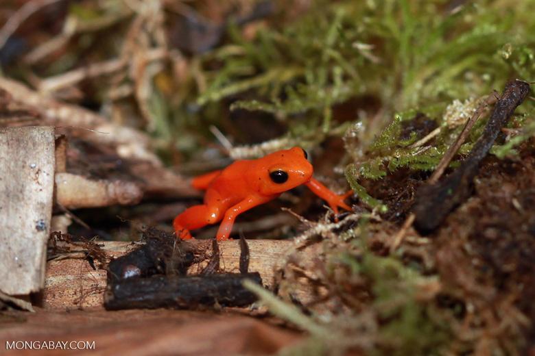 """La mantella dorada (Mantella aurantiaca) es una especie endémica con una distribución muy limitada, por lo que es el anfibio más amenazado de Madagascar. El vistoso color de su piel sirve de advertencia de que es sumamente venenosa. Está """"En peligro crítico"""". Foto: Rhett A. Butler"""