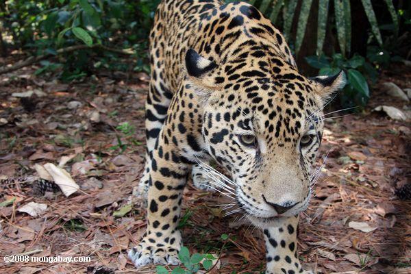 Un jaguar (Panthera onca) en Belice. Por su gran distribución geográfica, tiene varios nombres, como yaguar, yaguareté, otorongo, jaguarete, tigre o tigre americano. Foto: Rhett A. Butler / Mongabay