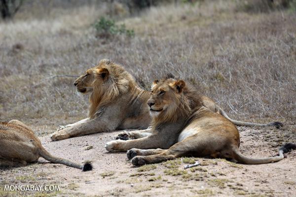 El león (Panthera leo) alguna vez existió en casi toda África, gran parte de Asia y Europa. Ahora se encuentra en poblaciones fragmentadas en África subsahariana y en el oeste de la India. Estos especímenes fueron captados en Kruger, Sudáfrica. Su estado de conservación es Vulnerable. Foto: Rhett A. Butler / Mongabay
