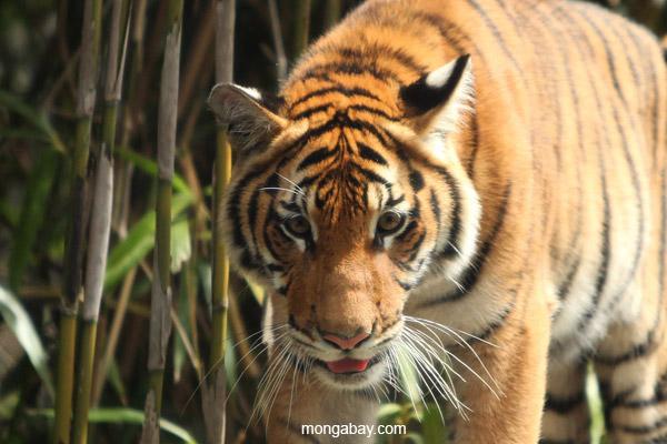 El tigre tiene seis subespecies a lo largo de Asia: de Bengala, de Indochina, malayo, de Sumatra, de Amur y del Sur de China. Otras tres se extinguieron en el siglo XX. Foto: Rhett A. Butler / Mongabay