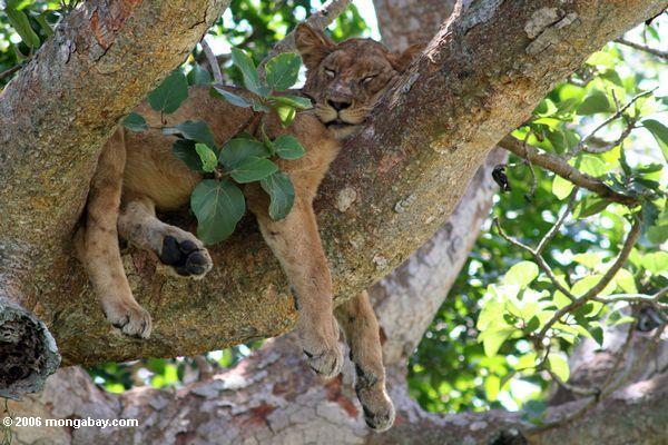 Actualmente son seis las subespecies existentes del león. Foto: Rhett A. Butler / Mongabay