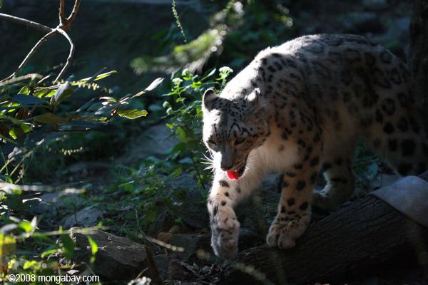 El misterioso leopardo de las nieves (Panthera uncia) vive en montañas remotas de Asia Central Su estado de conservación es Vulnerable. Foto: Rhett A. Butler / Mongabay