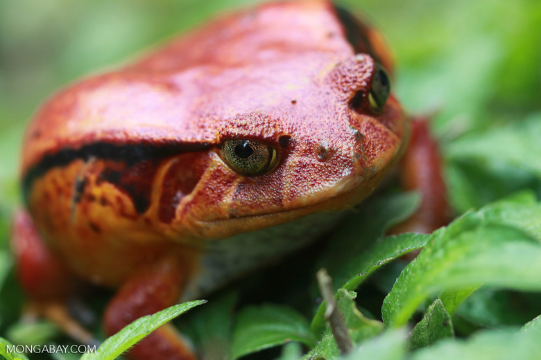 La rana tomate de Madagascar (Dyscophus antongilii) es, como muchas especies vistosas, tóxica para los posibles depredadores. Los machos son mucho más grandes que las hembras: 230 gramos versus 41 en peso, y 10.5 centímetros contra 6.5 en tamaño. Su estado de conservación es Casi Amenazado. Foto: Rhett A. Butler