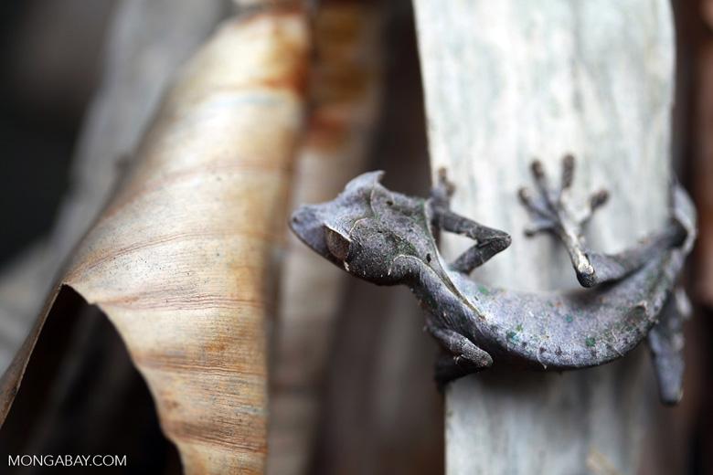 El gecko cola de hoja satánico (Uroplatus phantasticus) debe su peculiar nombre a una protuberancias sobre sus ojos, que parecen cachos, y a la forma de hoja en descomposición de su cola. Esta especie no tiene párpados, por lo que usa su larga lengua para limpiarse los ojos. Foto: Rhett A. Butler