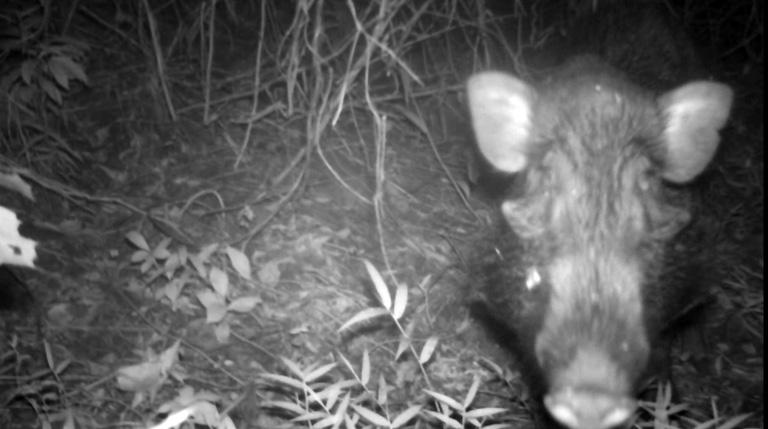 El jabalí verrugoso está clasificado como En Peligro en la Lista Roja de la UICN. | Fuente: Cortesía Chester Zoo