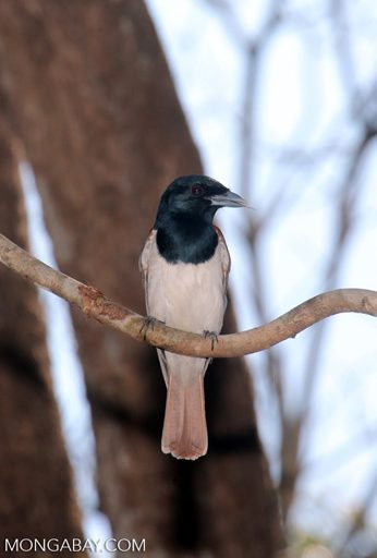 El vanga de Van Dam (Xenopirostris damii) es una especie endémica de Madagascar, que habita los bosques secos subtropicales o tropicales del país. Se encuentra En Peligro por la pérdida de hábitat. Foto: Rhett A. Butler