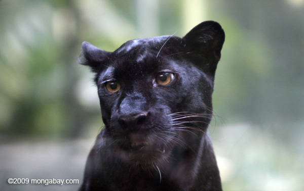 Cuando el leopardo (Panthera pardus) presenta un pelaje completamente negro, algo que sucede también con los jaguares, se le conoce como pantera. Foto: Rhett A. Butler / Mongabay