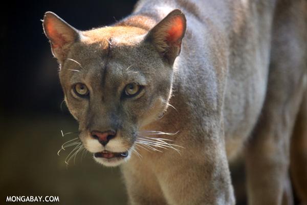 El puma (Puma concolor), también conocido como león de montaña o cougar. Habita desde el suroeste de Canadá hasta el sur de Chile y Argentina. Su situación de conservación es Preocupación Menor, aunque algunas poblaciones de Sudamérica se teme por su desaparición. Foto: Rhett A. Butler / Mongabay