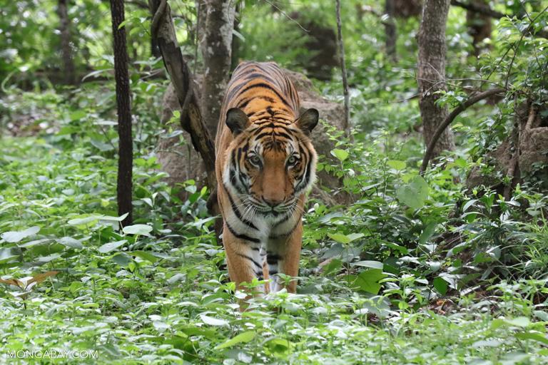 El tigre (Panthera tigris) es el representante más grande de los félidos, pues algunos ejemplares superan los 300 kilos. El hábitat de sus diversas subespecies abarca Asia Oriental, desde las islas del Sudeste Asiático, hasta Rusia (sur de Siberia), pasando por la India. Su estado de conservación es En Peligro. Este ejemplar fue captado en Camboya. Foto: Rhett A. Butler / Mongabay