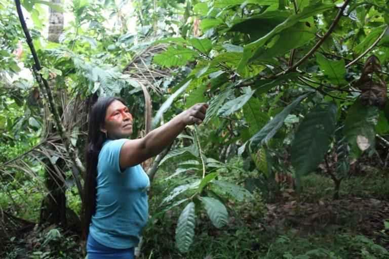 Mencayn poda las plantas de cacao para que puedan crecer mejor. Foto de Valeria Sorgato.