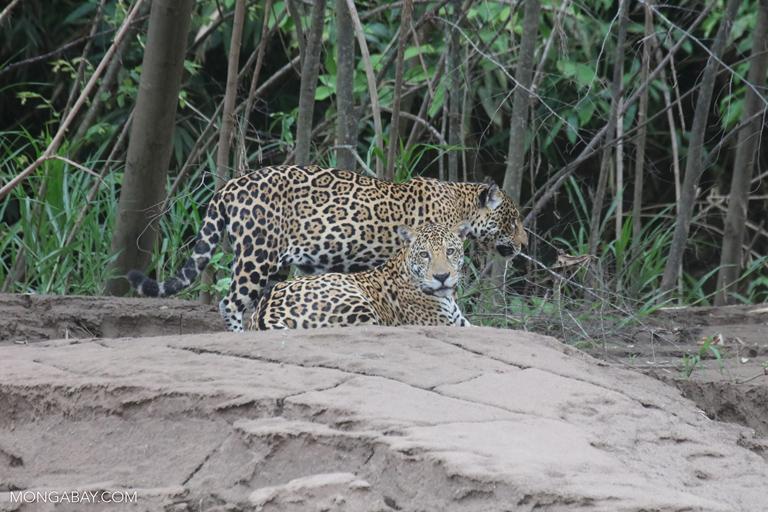 Dos jaguares (Panthera onca) en Perú. Aunque prefiere las selvas densas y húmedas, esta especie está adaptada a diferentes tipos de terreno, pues su hábitat abarca desde el sur de los Estados Unidos a Argentina. Su estado de conservación es Casi Amenazado. Foto: Rhett A. Butler / Mongabay