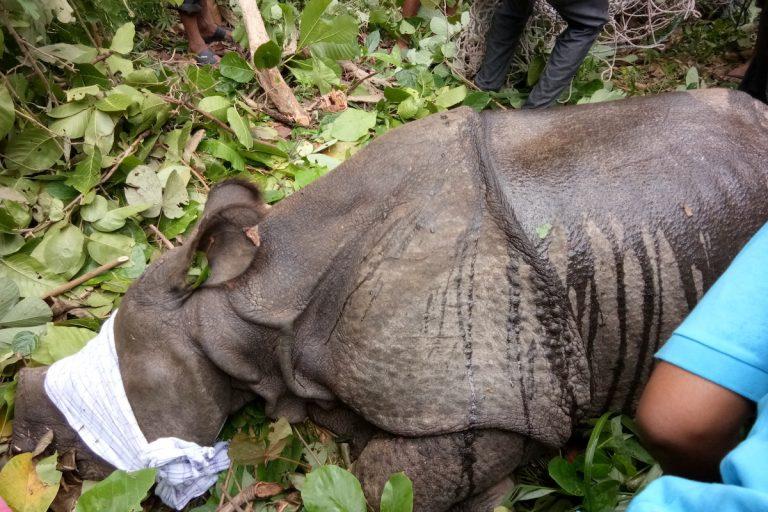 """Uno de los rinocerontes """"nepalíes"""" rescatados tras ser barrido hasta India por las inundaciones del monzón. Foto cortesía de la reserva de tigres de Valmiki."""