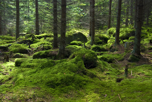 The primeval forest with mossed ground