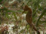 hippocampus-reidi-caballito-de-mar-hocico-largo_alfredo-abril