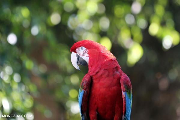 El guacamayo macao (Ara macao) habita desde México a Bolivia. Reconocida por su colorido plumaje, fue la mascota de la Copa América 2007, realizada en Venezuela. Foto: Rhett A. Butler