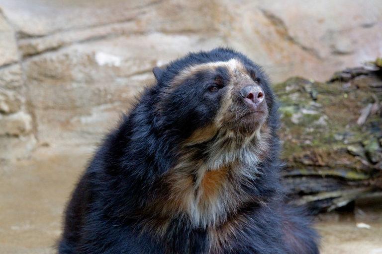 El oso andino está clasificado como Vulnerable en la Lista Roja de especies amenazadas de la UICN. Foto de Greg Hume, con licencia bajo CC BY-SA 3.0.