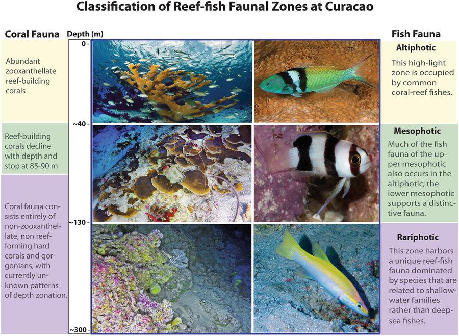 La clasificación de las zonas faunísticas por encima de la zona afótica basada en el análisis de conjuntos de peces en Curazao. Se muestran especies representativas de coral y peces para cada zona. Imagen cortesía del Smithsonian Tropical Research Institute
