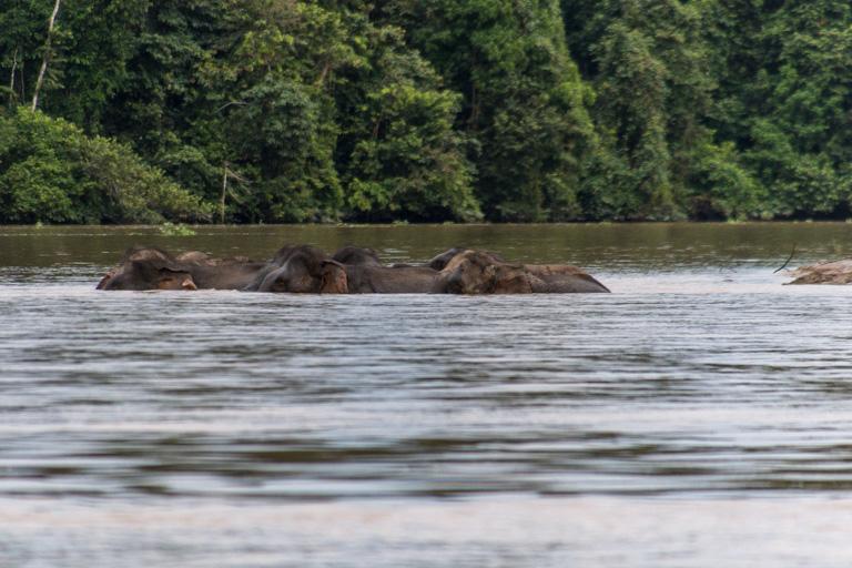Elefantes de Borneo nadando en el río Kinabatangan. Foto de John C. Cannon/Mongabay