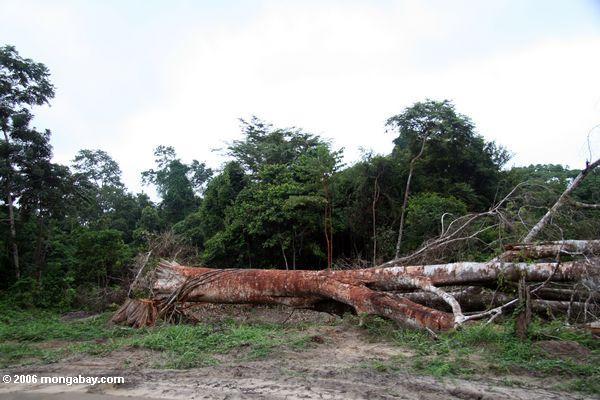 Gabón: un árbol caído cerca al río Mpivie en el bosque lluvioso de la Costa Oeste de África central. Foto: Rhett A. Butler