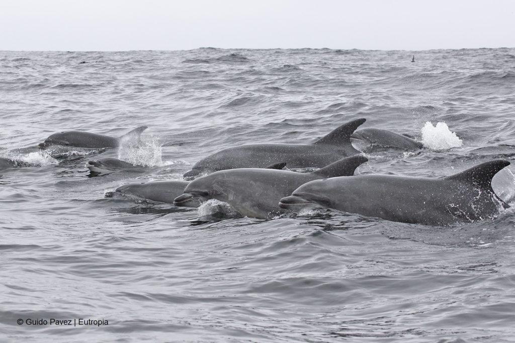 La única población de delfines residentes reportada en Chile habita entre las islas Punta de Choros y Chañaral. Foto Guido Pavez / Eutropía.