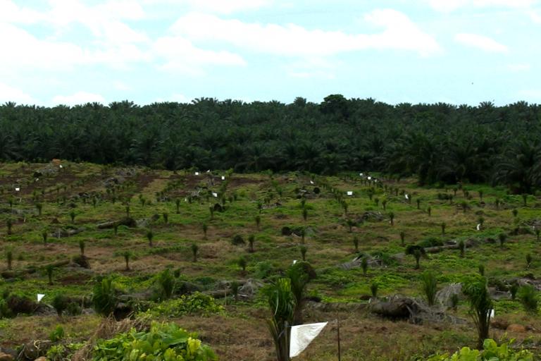Nicaragua: Cultivos de palma africana en Kukra Hill pertenecientes a la empresa Cukra Development Corporation S.A. Foto: Michelle Carrere.