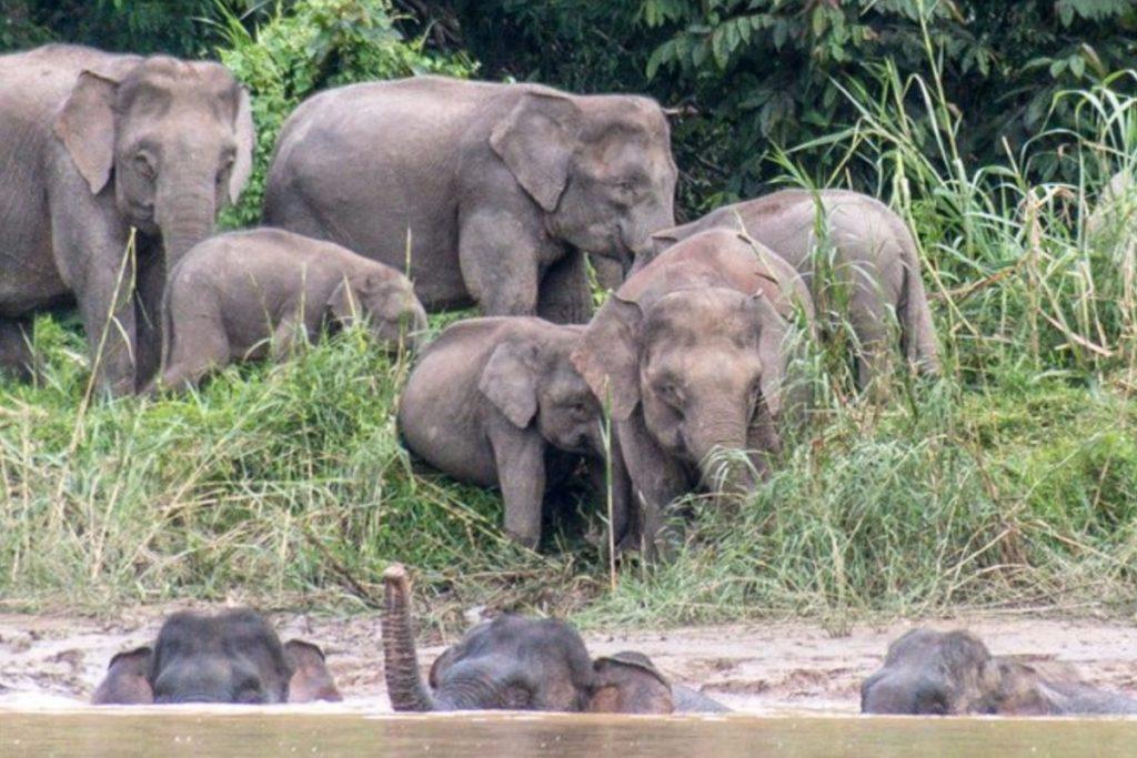 Elefantes en el río Kinabatangan por John C. Cannon/Mongabay