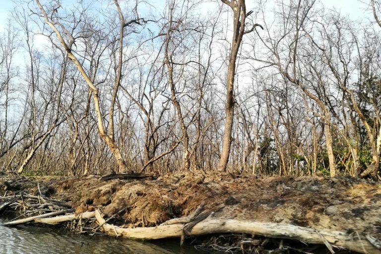 La salinización del agua de la Ciénaga ha matado a los manglares y con ellos han desaparecido varias especies de fauna de las que vivían los pescadores. Foto: Sandra Vilardy
