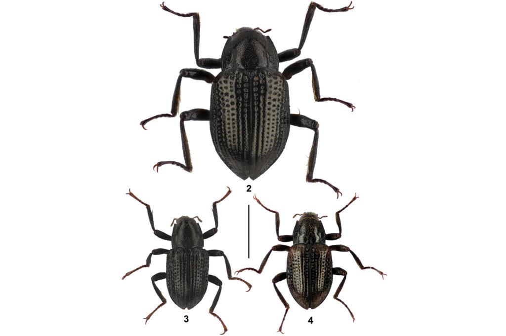 Los escarabajos descubiertos: Grouvellinus leonardodicaprioi (arriba), G. andrekuipersi (abajo izquierda) y G. quest (abajo derecha). Foto: Zoo Keys.