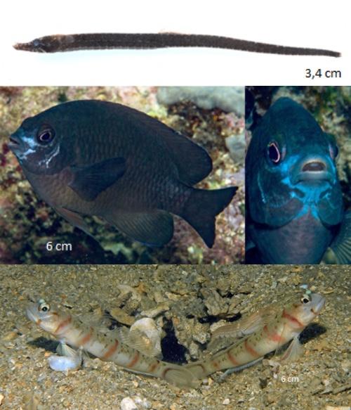 Algunas de las nuevas especies de peces de arrecife que se encuentran en Papúa Occidental, Indonesia: un pez aguja del género Choeroichthys, arriba; damisela del género Pomacentrus, medio; y gobios del género Amblyeleotris. Imágenes cortesía de Conservación Internacional-Indonesia