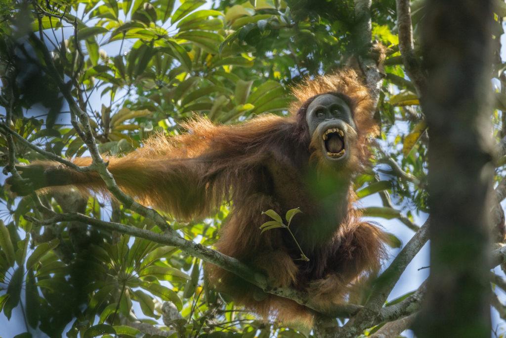 Existen menos de 800 orangutanes Batang Toru, por lo que es el más raro de todos los grandes simios. Foto: Maxine Aliaga