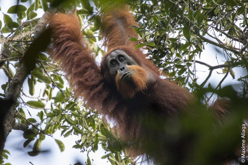 La clasificación del orangután se realizó junto con la UICN, que lanzó su última Lista Roja de Especies Amenazadas, que agregó miles de especies de fauna y flora. Foto de Maxime Aliaga