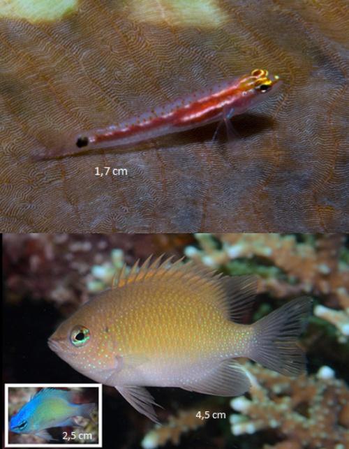Un gobio enano del género Eviota, arriba; y una damisela del género Chrysiptera. Imágenes cortesía de Conservación Internacional-Indonesia