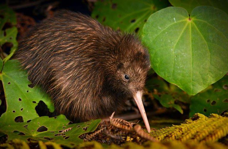 El kiwi marrón de la isla Norte. Foto cortesía de Neil Robert Hutton para la UICN