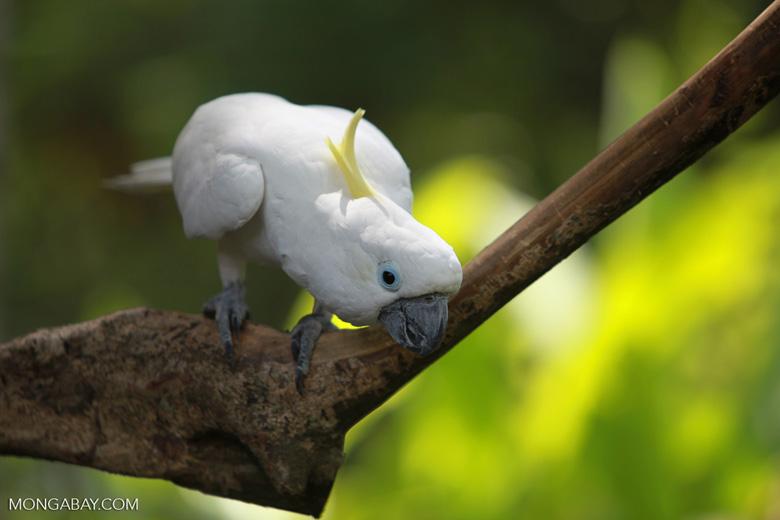 """La cacatúa de moño amarillo (Cacatua galerita) habitaba originalmente Nueva Guinea, Australia e Indonesia, pero ha sido introducida como mascota en todo el mundo. Su estado de conservación es """"Preocupación menor"""". Foto: Rhett A. Butler"""