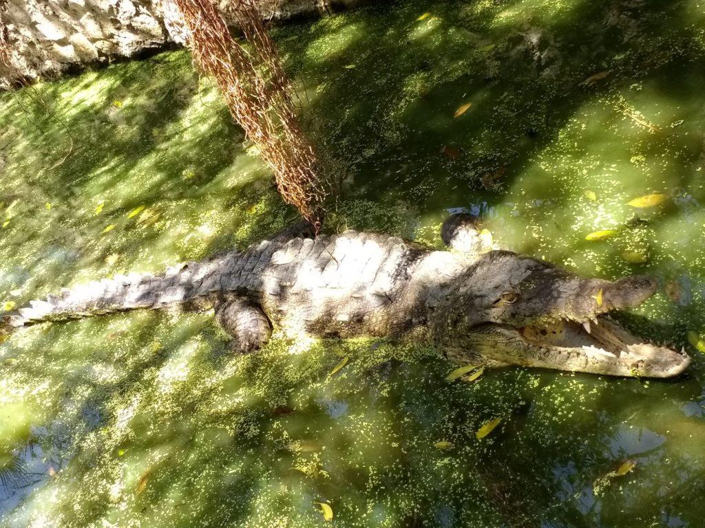 El caimán aguja (Crocodylus acutus) es uno de los habitantes de este Parque. Foto: Vía Parque Isla de Salamanca.