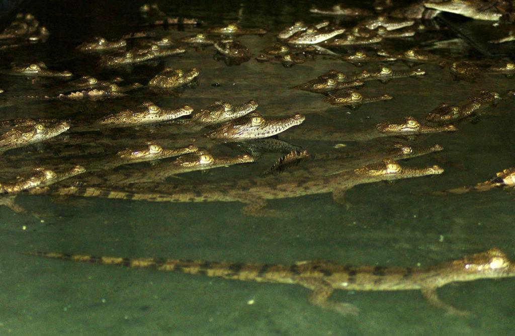 Caimanes aguja en la bahía de Cispatá. Foto: Asocaiman.