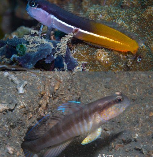 Un blenio del género Ecsenius, arriba; y un gobio del género Myersina. Imágenes cortesía de Conservación Internacional-Indonesia