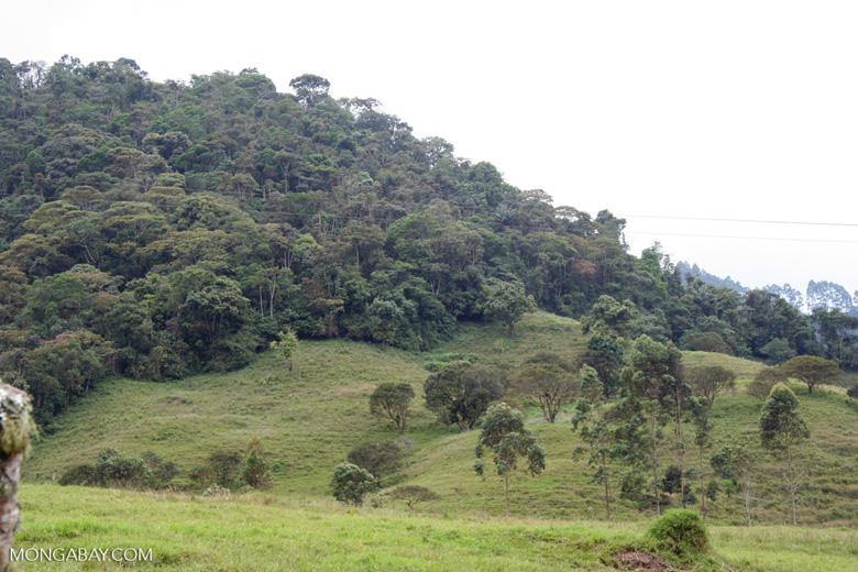 Un fragmento de bosque en el Santuario Otún Quimbaya, en el flanco occidental de la Cordillera Central, en el departamento de Risaralda. Foto: Rhett A. Butler